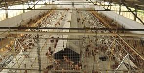 Granja de huevos ecológicos. Andalucía